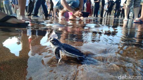 Puluhan Tukik Dilepasliarkan Ke Laut Lepas